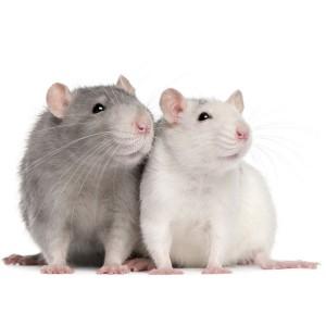 Крыса декоративная